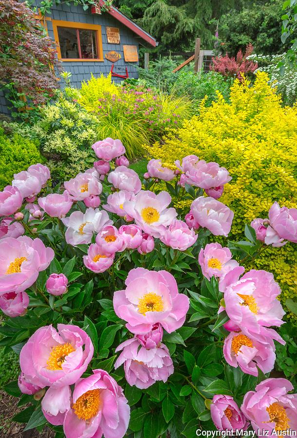 Vashon Island, Washington: Peony 'Soft Salmon Joy' in full bloom in perennial garden with potting shed