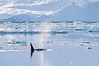 killer whale or orca, Orcinus orca, Type B orca, Adelaide Island, WintheGullet, Antarctica, Southern Ocean
