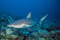 Caribbean reef shark, Carcharhinus perezii, with parasite on gills, Bahamas, Caribbean Sea, Atlantic Ocean