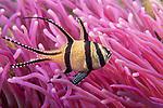 Lembeh Strait, Indonesia; a Banggai Cardinalfish swimming over a bright pink anemone