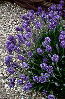 Lavandula angustifolia 'Miss Muffet' (English Lavender) aka 'Schlomis' herb, a low-growing compact mound of violet-blue flowers