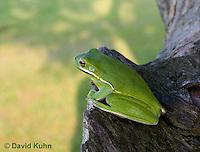 1218-1002  American Green Treefrog Sitting on Tree, Hyla cinerea  © David Kuhn/Dwight Kuhn Photography