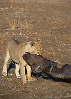 Lions eating a recent kill of a Cape Buffalo in the Okavango Delta, Botswana Africa.
