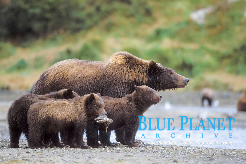 brown bear, Ursus arctos, grizzly bear, Ursus horribilis, mother with cubs along a riverbank, one with a salmon head in its mouth, Katmai National Park, Alaska, USA