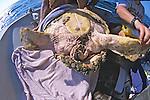 Back Of Loggerhead Turtle