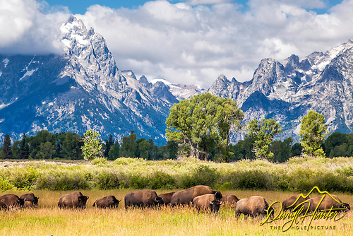 Bison at home in Jackson Hole Wyoming