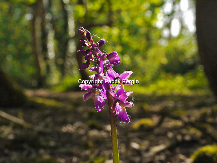 """The early purple orchid (Orchis mascula) is one of the commonest of all orchids and is to be found in woodlands, hedgerows and in grassland, and is tolerant of sun and shade.<br /> <br /> This photo was taken in Lancing Ring, West Sussex which is a local nature reserve within the South Downs National Park.<br /> <br /> Since 2005, The Ring has been managed by a partnership between Adur District Council and The Friends of Lancing Ring and has been an example of how Councils and Community groups can work together.<br /> <br /> This site is important for its chalk grassland, but also has other habitats such as a small woodland and a dewpond.<br /> <br /> The Friends of Lancing Ring have 'task days' at 10am on the 3rd Sunday morning of every month when people can become actively involved in the improvement and maintenance of the Ring.<br /> <br /> Anyone interested in getting involved please meet at the car park at the top of Mill Road in North Lancing because all help is appreciated.<br /> <br /> When I was a kid, 50 years ago, I grew up In Halewick Lane and the ring was part of our playground. Back then it was very wild and had lots of mature Beech Trees which were mostly wiped out in the 1987 """"Big Storm"""". We loved climbing those trees and making tunnels in the thick undergrowth and building camps. I live in London now but visit my Mother in Lancing so get to experience the changes that have been going on over the last few years. <br /> <br /> Stock Photo by Paddy Bergin"""