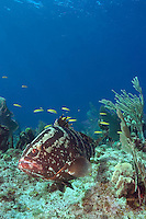 Nassau Grouper (Epinephelus striatus) in reef at Bloody Bay Wall, Little Cayma