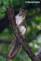0705-1011  Red Squirrel, Tamiasciurus hudsonicus  © David Kuhn/Dwight Kuhn Photography