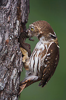 Ferruginous Pygmy-Owl, Glaucidium brasilianum, adult with lizard prey at nesting cavity, Willacy County, Rio Grande Valley, Texas, USA, May 2007