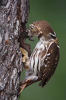 Ferruginous Pygmy-Owl, Glaucidium brasilianum, adult with lizard prey at nesting cavity, Willacy County, Rio Grande Valley, Texas, USA, May 2007