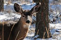 Young mule deer standing in snow.