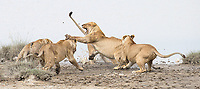 One of the highlights of the trip occurred when a pride of lions faced off against an interloper.
