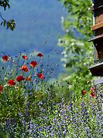 The coming and going of bees in summer amidst the poppies and the phacella.<br /> Va et viens des abeilles en été avec des fleurs de coquelicots et de phacélie.