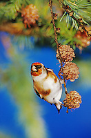 European Goldfinch, Carduelis carduelis, adult eating on cones of European Larch (Larix decidua) , Unteraegeri, Switzerland, Oktober 2004
