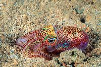 Hawaiian bobtail squid, Euprymna scolopes, endemic species, South Shore, Oahu, Hawaii, USA, Pacific Ocean
