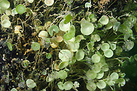 Acetabularia calyculus in the mangrove, algae, off Key Largo, Gulf of Mexico, Florida Keys, USA, United States.