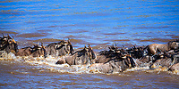 Wildebeest herd crossing the Mara River during the great migration between Kenya and Tanzania, in Masai Mara national park, Africa