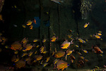 Wreck of Alma Jane  interior filled with Cardinal Fish