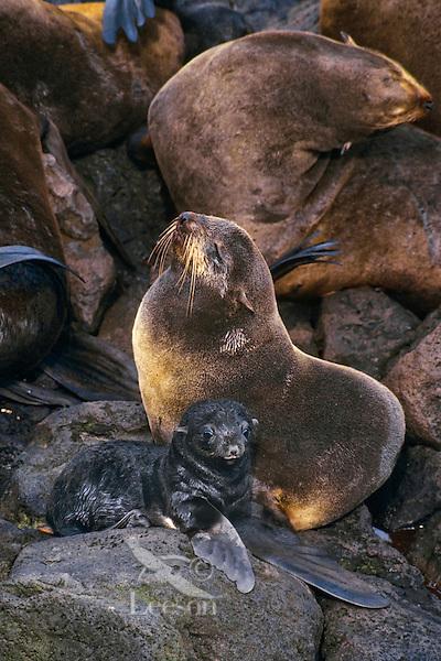 Northern fur seal mother with young, Alaska