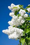 Deutschland, weisser Flieder (Syringa) | Germany, white Syringa (Lilac)