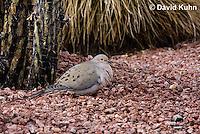 0724-1004  Mourning Dove in Arizona Desert, Zenaida macroura  © David Kuhn/Dwight Kuhn Photography