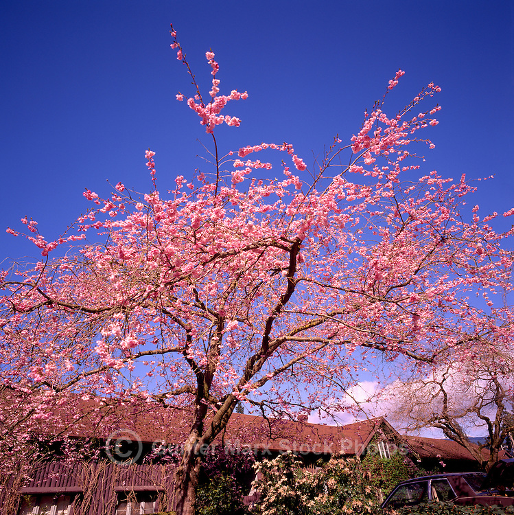 Japanese Cherry Trees blooming in Spring, Vancouver, BC, British Columbia, Canada