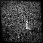 Willet in a field, Bolsa Chica, CA.