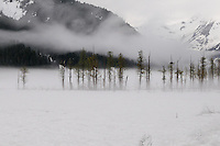 Trees -- including one with a bald eagle's nest -- emerge from the mist along the Placer River, as seen from the Alaska Railroads Coastal Classic train.