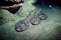 Three Eastern Fiddler Rays, Trygonorrhina fasciata, on ocean bottom at night, Great Australian Bight, Australia, Indian Ocean