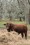 Brazoria County, Damon, Texas; a large, adult male Red Angus bull feeding on a hay bale on an overcast morning