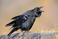 Common Raven. Fall. North America. (Corvus corax)..