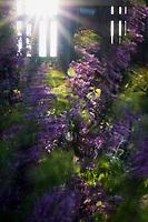 Wind-blown purple flowers in a blurred flurry under a sun burst.