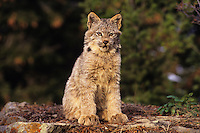 Lynx or Canadian Lynx (Lynx canadensis) kitten.