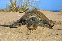 Deceased Australian Flatback Turtle at Flinder's Beach, Mapoon, Cape York Peninsula