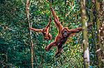 Sumatran orangutan and baby, Gunung Leuser National Park, Sumatra Indonesia