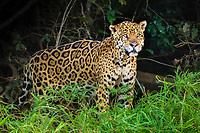 Jaguar (Panthera onca), old animal, dense vegetation, Pantanal, Mato Grosso, Brazil, South America