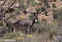 0711-1001  Wild Burro (Feral Donkey), Mojave Desert, Equus africanus asinus  © David Kuhn/Dwight Kuhn Photography