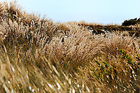 Silver Dusted - Sea grasses on the dunes at Long Island Beach