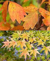 Fall autumn foliage color of two different maples: Acer griseum (top) and Acer palmatum 'Sango-kaku' (bottom)