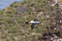 Black-browed Albatross in Flight Black-browed Albatrosses nesting at West Island, the Falkland Islands
