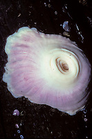 retracted giant plumose anemone, Metridium farcimen, Vancouver Island, British Columbia, Canada, Pacific Ocean
