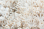 Anda, Bohol, Philippines; white Flower soft coral (Xenia sp.), also known as Pulse Coral, Pulsing Xenia, Red Sea Xenia, Pom Pom Coral, Bouquet Encrusting Coral
