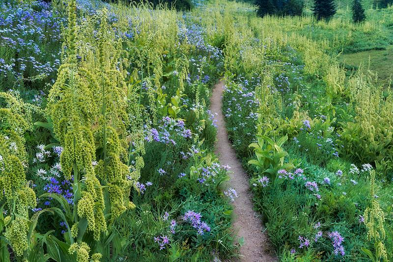 False Hellebore and Cascade Aster with trail. Mt. Rainier National Park, Washington