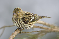 Pine siskin perched on a pine branch