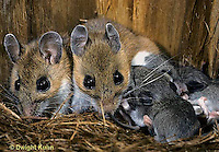 MU28-064z  White-Footed Mouse - nursing young -  Peromyscus leucopus