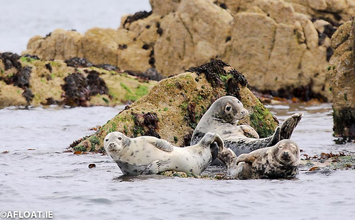 Harbour seals hauled ashore at Dalkey Island