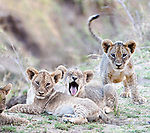 African Lion cubs (Panthera leo)  - approx 3 months old - near the Luangwa River. South Luangwa National Park, Zambia.