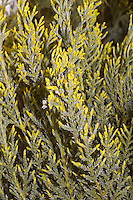 Juniperus 'Sea of Gold' = Juniperus x pfitzeriana 'Sea of Gold' aka Juniperus chinensis Sea of Gold, closeup of branch yellow shrub tree foliage