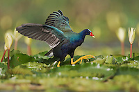 Purple Gallinule (Porphyrula martinica), adult walking on Yellow Waterlily pads (Nymphaea mexicana), Sinton, Corpus Christi, Coastal Bend, Texas, USA